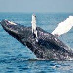Amphibious whale